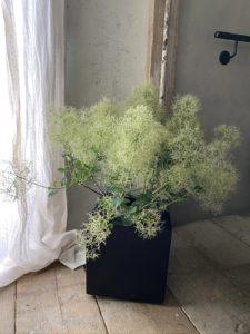 岐阜市花屋 グリーンヴェール  スモークツリー 鉢花 煙の木