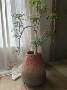 岐阜市花屋 岐阜花屋 グリーンヴェール グリーンベール DOMANI ドマーニ シェフレラ 観葉植物